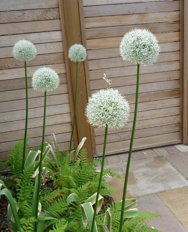 Allium Mt Everest