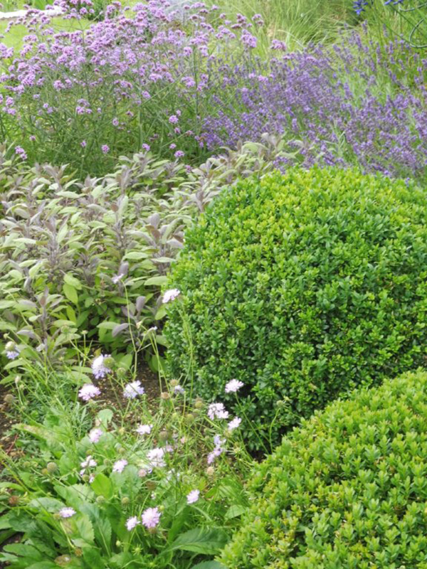 Summer planting, sage, verbena, lavendula & buxus