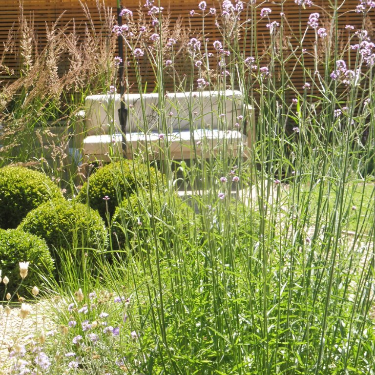 Private garden Cambridge contrasting planting of  Verbena & buxu