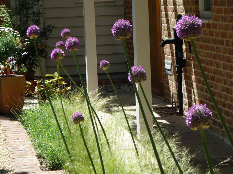 Alliums and grasses - Cambridge